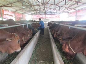 Lan tỏa mô hình vỗ béo bò thịt