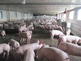 Doanh nghiệp chăn nuôi lớn đồng lòng giảm sâu giá lợn hơi