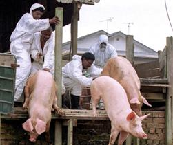 Hiểu đúng về bệnh Nipah ở lợn