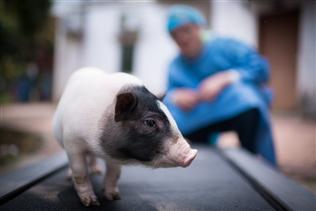 Lợn đột biến – đáp án tiềm năng cho bài toán tả lợn châu Phi