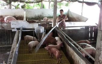 Chăn nuôi heo quy mô nhỏ khó tái đàn