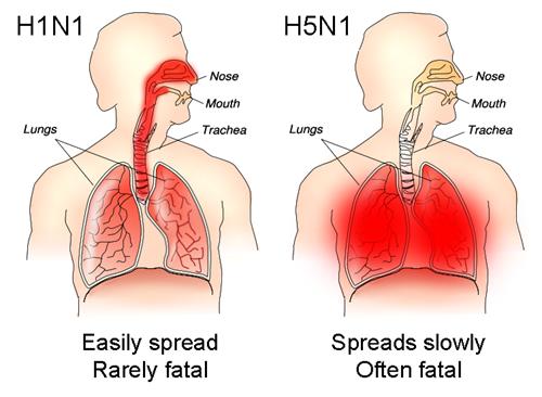 Cơ chế gây tử vong của cúm H5N1