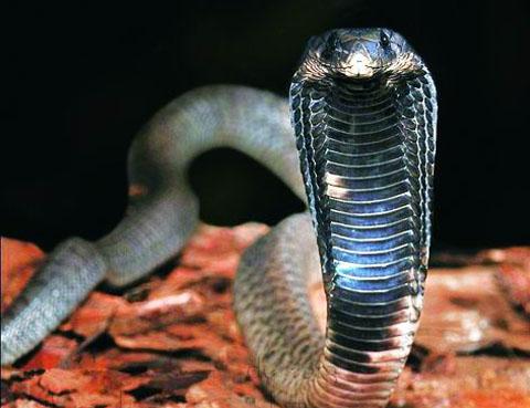 10 loài rắn độc nhất hành tinh