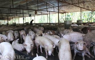 Lợn an toàn sinh học trụ vững trước dịch bệnh
