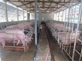 Nghiên cứu thành công Kit phát hiện virus dịch tả lợn Châu Phi