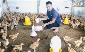 Thái Bình: Đàn lợn bị xoá sổ, nông dân liều mình nuôi gia cầm
