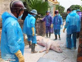 Cấp thiết kinh phí chống dịch tả lợn Châu Phi