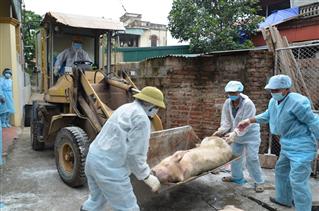 CÁC PHƯƠNG PHÁP TIẾP CẬN ĐỂ SẢN XUẤT VACXIN DỊCH TẢ LỢN CHÂU PHI                                   ( African Swine Fever – ASF )