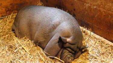 Lợn béo phì ở Trung Quốc khiến giá thịt lợn tụt dốc không ngừng
