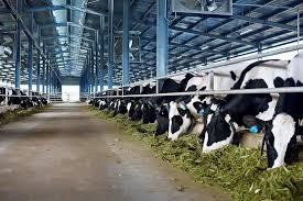 Phát triển nông nghiệp bền vững: Nhìn từ hệ thống trang trại bò sữa của Vinamilk