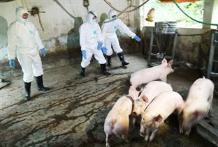 Hà Nội: Quyết liệt phòng, chống dịch tả lợn Châu Phi
