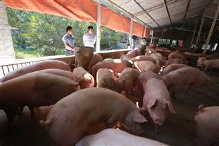 Ra mắt hệ thống cân đo 3D lợn trong 15 giây