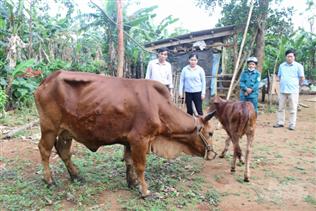 Không di chuyển trâu bò nhiễm bệnh viêm da nổi cục ra khỏi vùng dịch