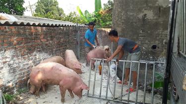 Giá lợn chững, gà tăng mạnh