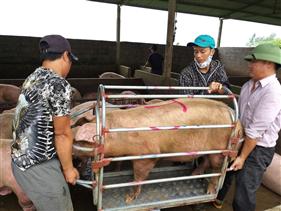 Nhập khẩu thịt lợn tăng 404%, giá lợn hơi chạm đáy, Hội Chăn nuôi Việt Nam kiến nghị khẩn Thủ tướng
