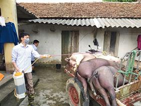 Sốc: Một trang trại Hải Dương bị tiêu huỷ 1.200 con lợn vì dịch tả
