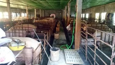 Từng thua lỗ tiền tỷ vì nghề nuôi lợn nái, nay nổi nhất vùng vì giá lợn cao chót vót