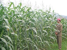 Nông dân Thái Lan tố chất diệt cỏ glufosinate gây hại cây trồng